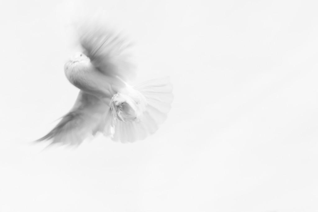 dove-893526_1920