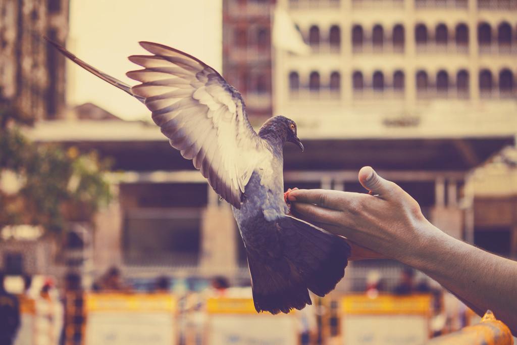 pigeon-1626387_1920