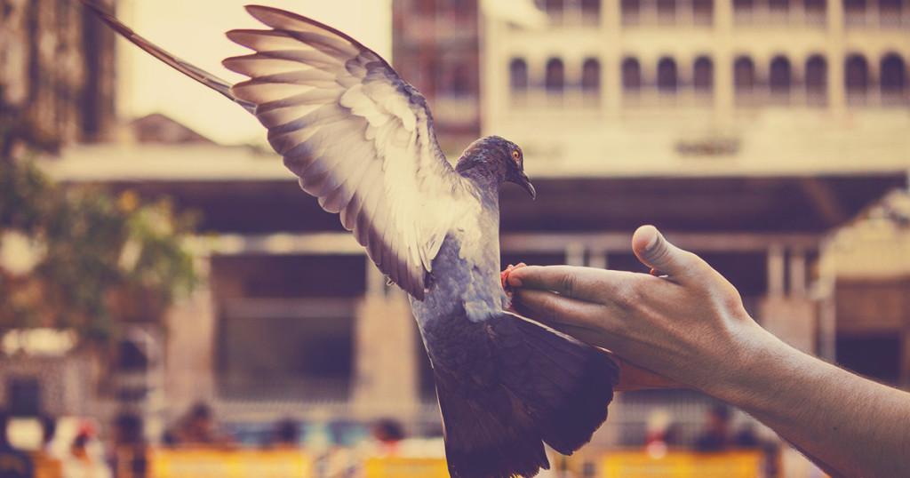 pigeon-1626387_1920-fb