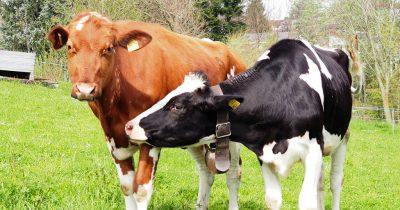 Φάρμες συνταξιούχων αγελάδων!