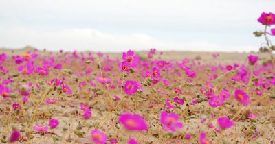 Ατακάμα - Η πιο άνυδρη έρημος της γης γέμισε λουλούδια