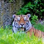tiger-2540038_1280