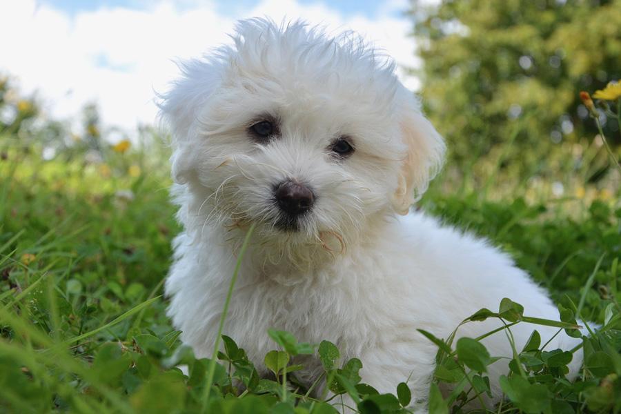 dog-white
