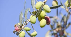 Ο Δήμος Πατρέων διαθέτει προς συγκομιδή τα ελαιόδεντρα που ανήκουν στη δημοτική περιουσία