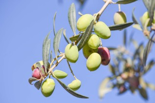 olive-1925256_1280 (1)