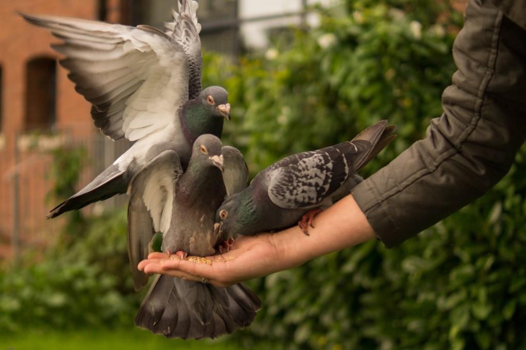 pigeon-943273_1920