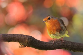 robin-bird-on-branch-in-the-garden