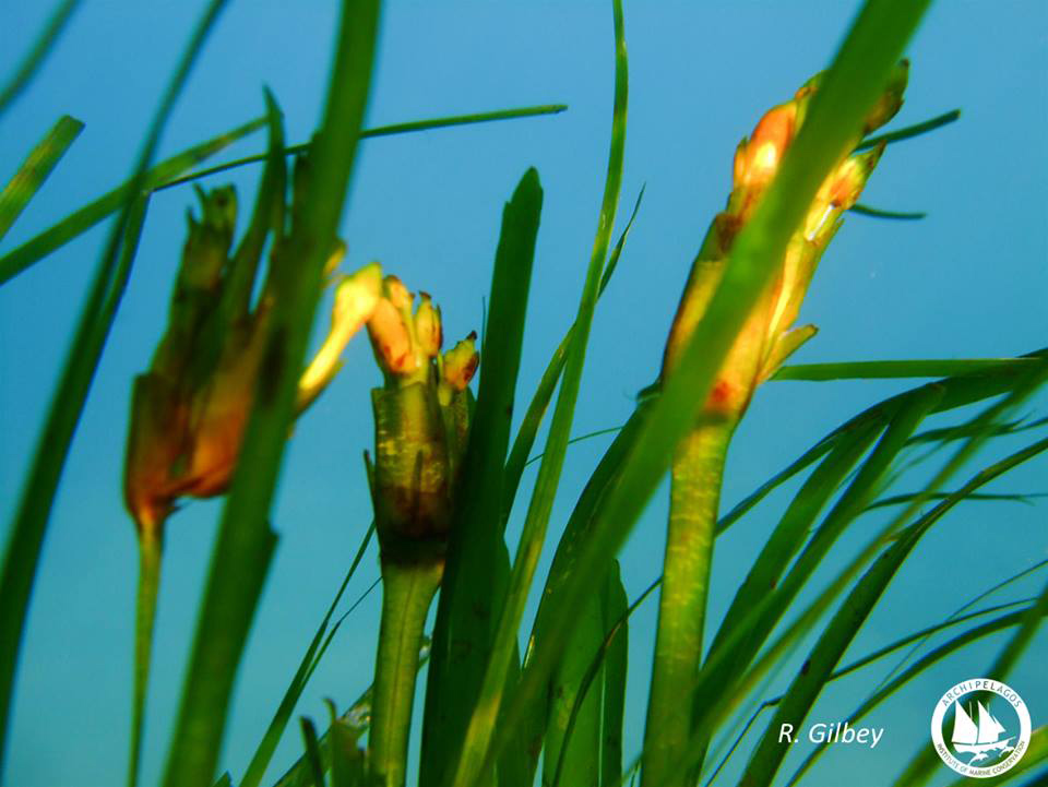 Archipelagos-kipoi-posidonias-2