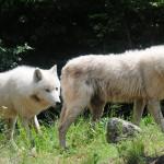 ageli-lykwn-arktouros