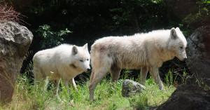 'Εξι νεαρές λύκαινες βρήκαν καταφύγιο στον Αρκτούρο
