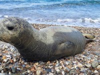 Περίοδος αναπαραγωγής της μεσογειακής φώκιας: «Μην ενοχλείτε!»
