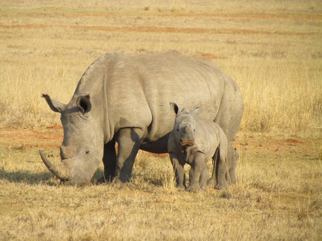 rhinos-382401_1280