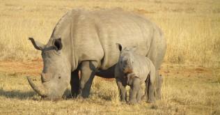 rhinos-382401_12802