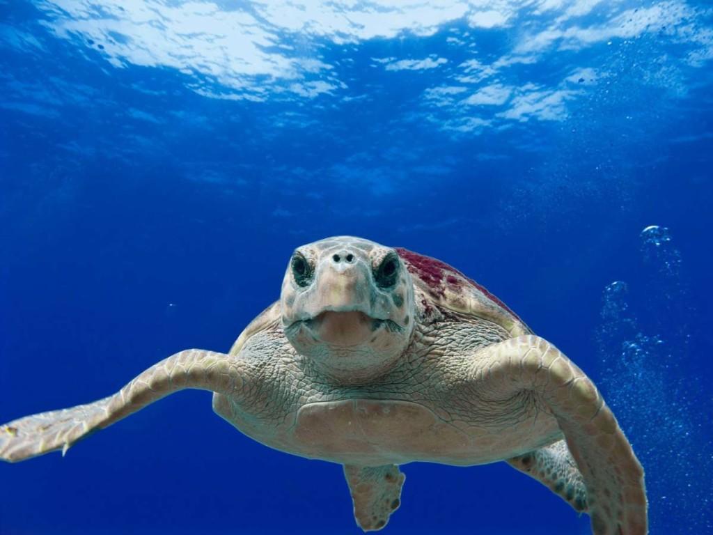 loggerhead-turtle-123402_1280b
