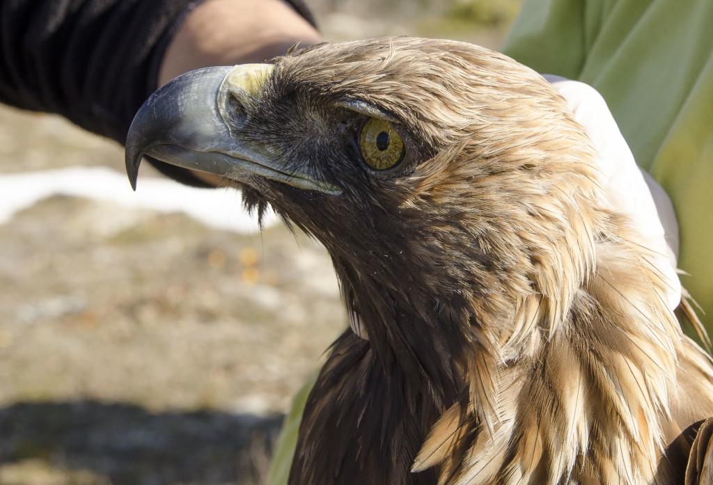 Φωτογραφία κατά τη δακτυλίωση Χρυσαετού, λίγες ημέρες πριν εντοπιστεί νεκρός. © Λαυρέντης Σιδηρόπουλος | Πηγή: ornithologiki.gr