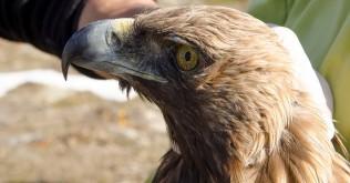 Golden-Eagle_Lavrentis-Sidiropoulos.