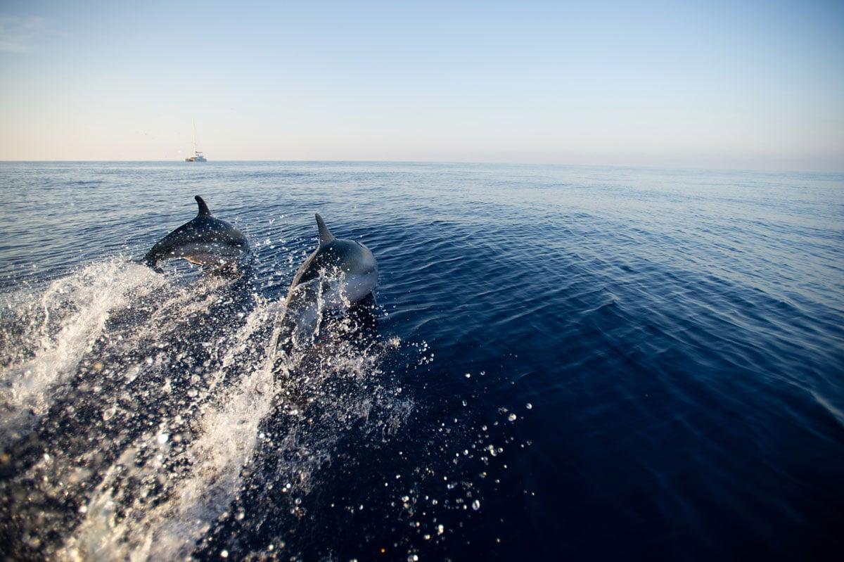 striped-dolphin-©-F.-Bassemayousse---WWF-France