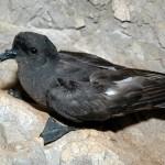 Hydrobates-pelagicus_StormPetrel_JohnJBorg_BirdLifeMalta2