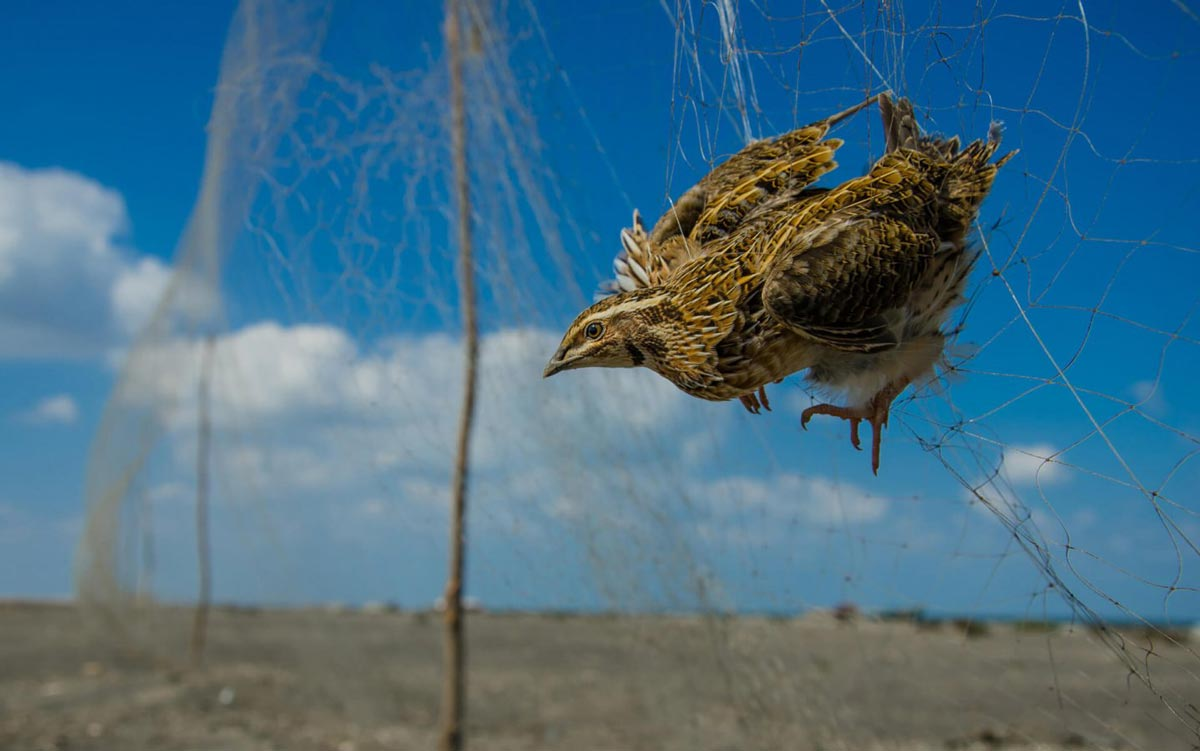common_quail_illegal_trapping_in_egypt_©Watter-AlBahry