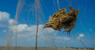 common_quail_illegal_trapping_in_egypt_©Watter-AlBahry2