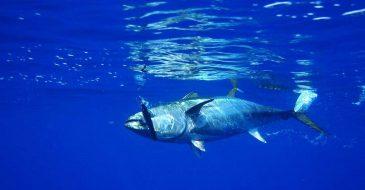 Το WWF εγκαλεί τον διεθνή οργανισμό MSC για την προτεινόμενη διαδικασία πιστοποίησης στόλου που αλιεύει ερυθρό τόνο