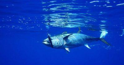 Δόθηκε οικολογική πιστοποίηση σε στόλο αλιείας ερυθρού τόνου, πριν την απαραίτητη ανάκαμψη του πληθυσμού του εν λόγω είδους