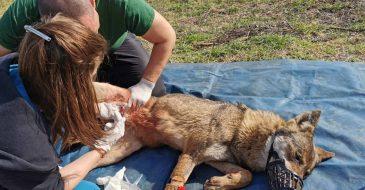 ΑΡΚΤΟΥΡΟΣ: Διάσωση λύκαινας που είχε κρεμαστεί σε καγκελόπορτα