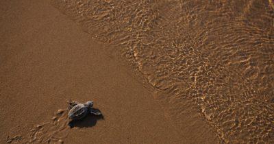 Στην Κρήτη οι διαβουλεύσεις για την προετοιμασία των Εθνικών Σχεδίων Δράσης για την προστασία της χελώνας καρέτα και των αμμοθινών με άρκευθους