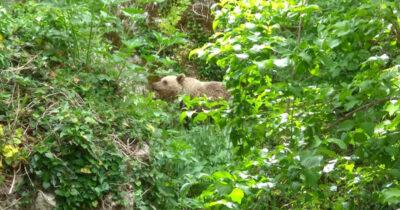 Μια νεαρή αρκούδα επισκέπτεται το τελευταίο διάστημα το Μικρό Πάπιγκο