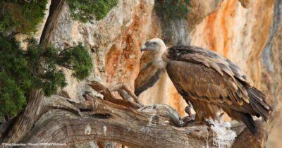 Συγκρατημένη αισιοδοξία για το μέλλον των απειλούμενων γυπών της Αιτωλοακαρνανίας