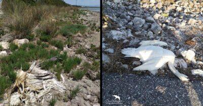 Καλώδια - παγίδα θανάτου για τους Αργυροπελεκάνους στη Λιμνοθάλασσα Μεσολογγίου