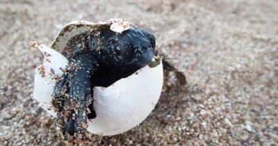 Πάνω από 3.500 φωλιές Καρέτα στον Κυπαρισσιακό Κόλπο - Πώς μπορούμε να βοηθήσουμε τα νέα χελωνάκια