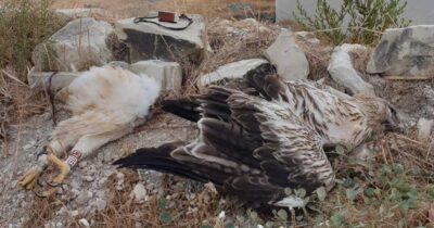 Νεκρός Σπιζαετός από πρόσκρουση σε ανεμογεννήτρια στην Κύπρο