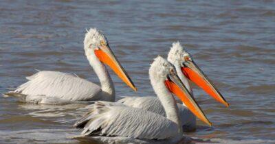 Συνάντηση για την προστασία του αργυροπελεκάνου από τον Φορέα Διαχείρισης Λιμνοθάλασσας Μεσολογγίου