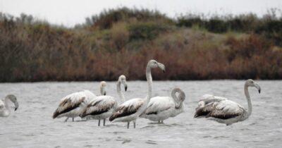 Μεσοχειμωνιάτικες Καταμετρήσεις Υδρόβιων Πουλιών στη Στροφυλιά & στη λίμνη Καϊάφα