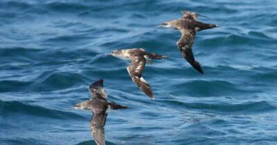 Δύο ενδημικά θαλασσοπούλια φέρνουν κοντά 5 χώρες της Μεσογείου