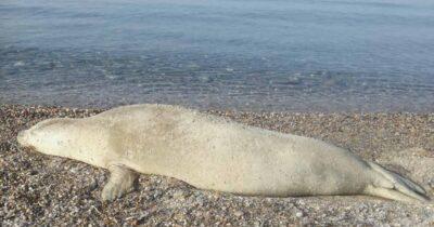 Μονεμβασιά: Μία λευκή φώκια στην παραλία Λίμνες