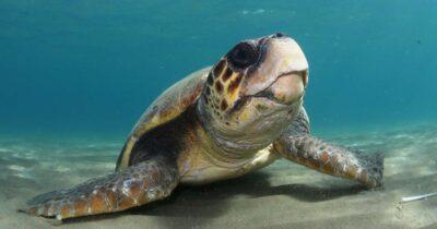 Ακόμη σε κίνδυνο οι χελώνες στον κόλπο του Λαγανά στη Ζάκυνθο