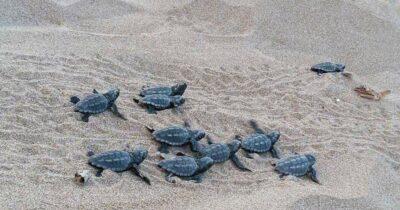 Όταν τα χελωνάκια χάνουν το δρόμο για τη θάλασσα