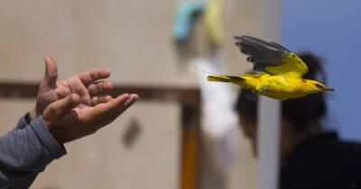 Η τεχνολογία στην υπηρεσία των μεταναστευτικών πουλιών στα Αντικύθηρα