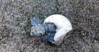 Σποραδική ωοτοκία θαλάσσιας χελώνας και φωλιές στην Αττική