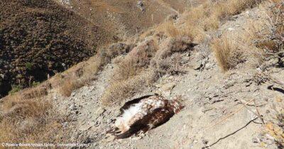 Νέο περιβαλλοντικό έγκλημα στην Κρήτη: Χρυσαετός νεκρός από πυροβολισμό